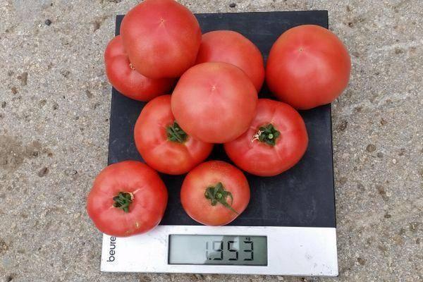 Помидор, томат, сорт фенда f1