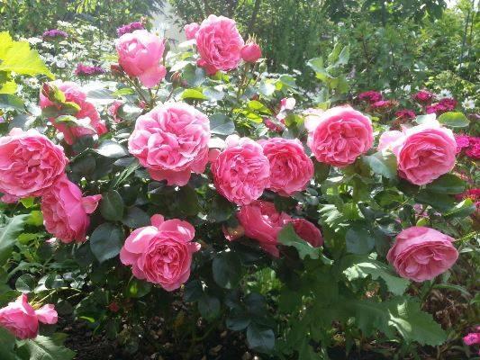 Роза сорта «леонардо да винчи» (флорибунда) — описание, выращивание в домашних условиях, фото