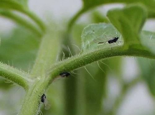 Почвенные мушки на рассаде: как распознать и избавиться