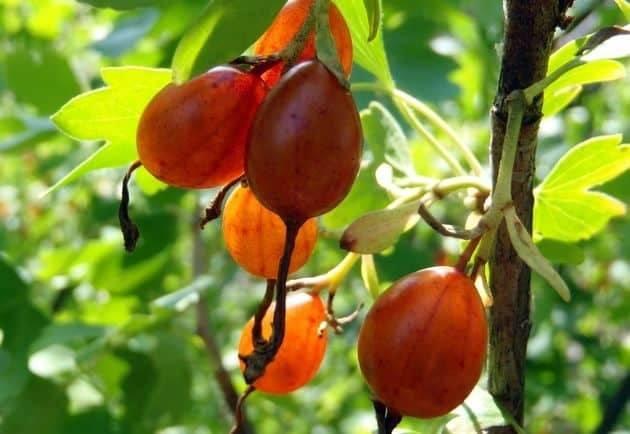 Технология выращивания смородины, особенности посадки и ухода за кустарником в различных регионах