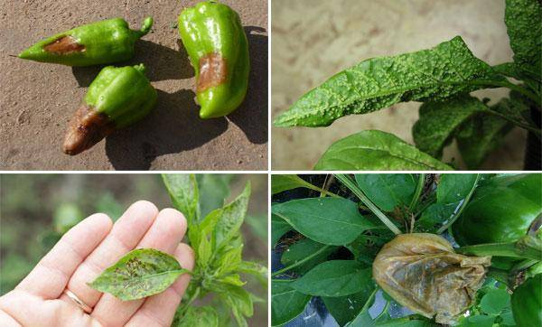 Болезни листьев перца сладкого и борьба с ними, фото, как определить, чем лечить