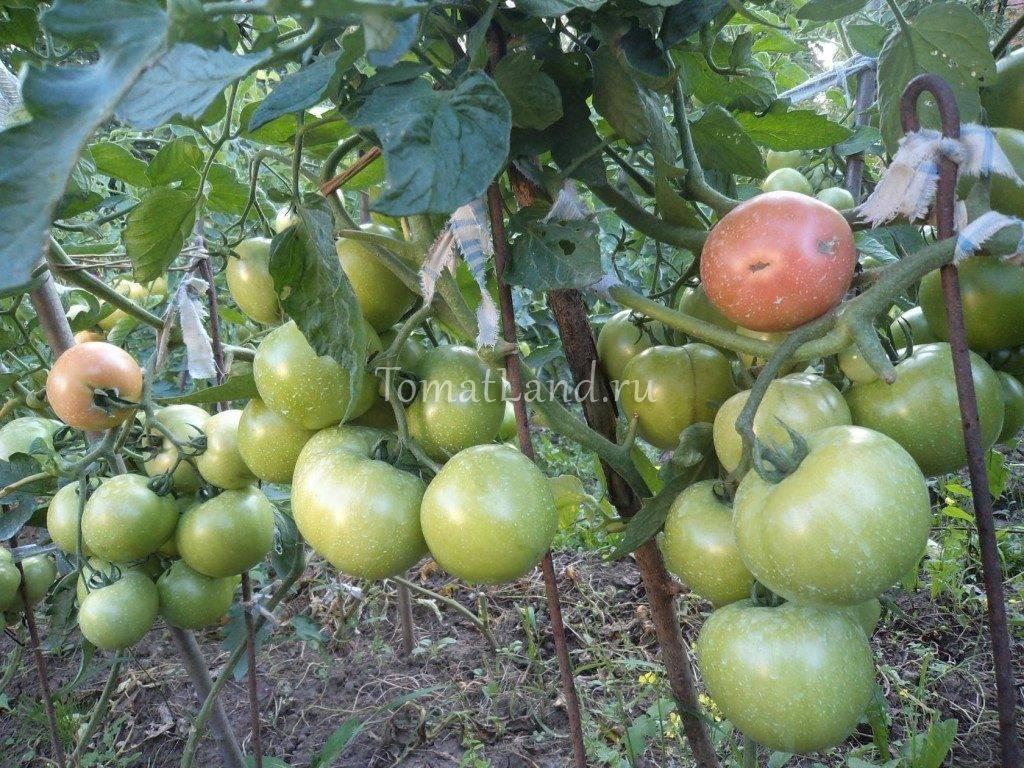 Гибридный сорт от японских селекционеров — томат «пинк парадайз f1»