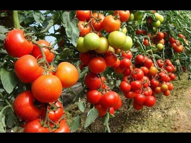 Когда сеять томаты по технологии урожайного огорода татьяна и как выращивать