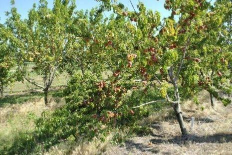 Описание и характеристики сортов и видов персиков, правила выбора для регионов