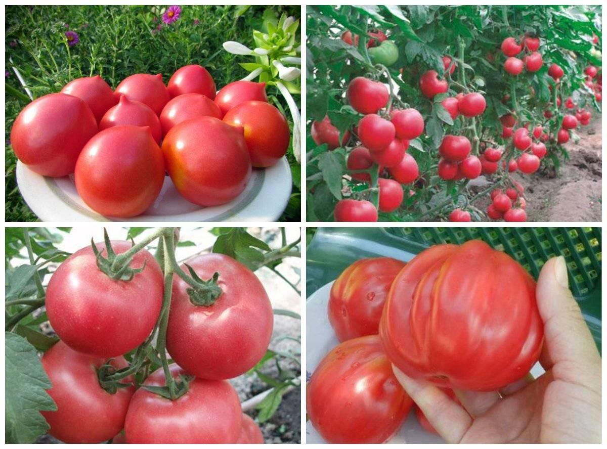 Томат капия розовая характеристика и описание сорта, урожайность, фото, отзывы
