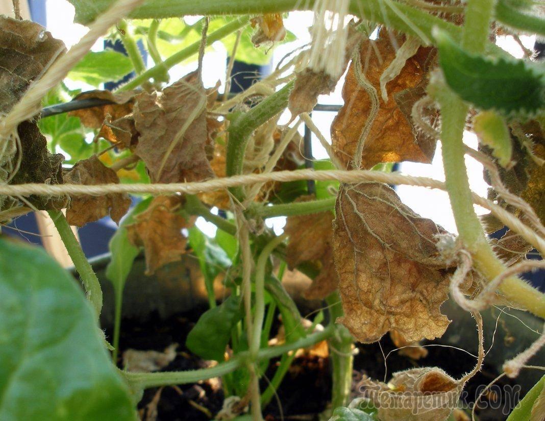 Почему сохнут листья у огурцов: причины и способы лечения