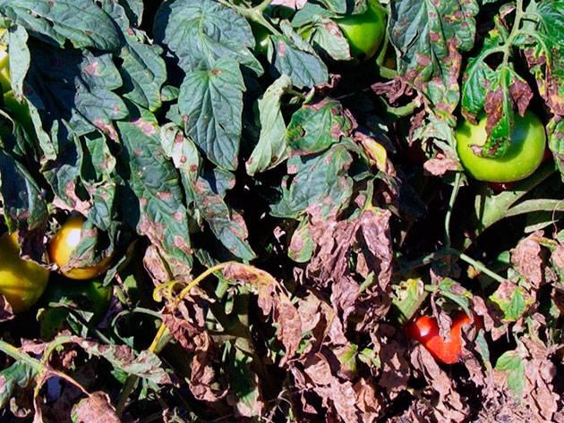 Эффективные методы лечения кладоспориоза томатов