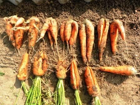 Причины проблем с морковью — почему падает ботва на грядке, и она вырастает уродливой. методы борьбы