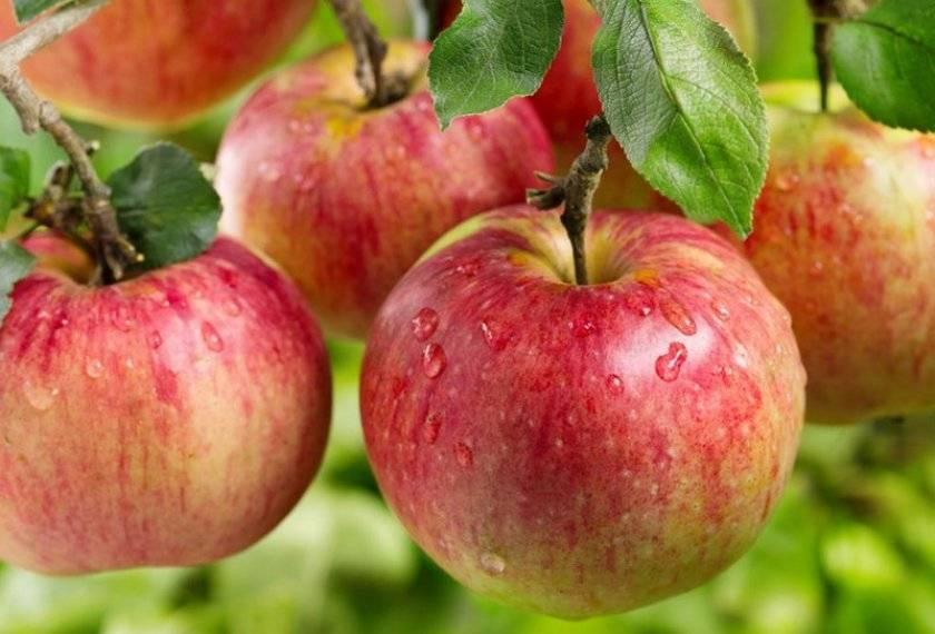 большинство турбаз сорт яблони оранжевое фото и описание сорта запросу академика
