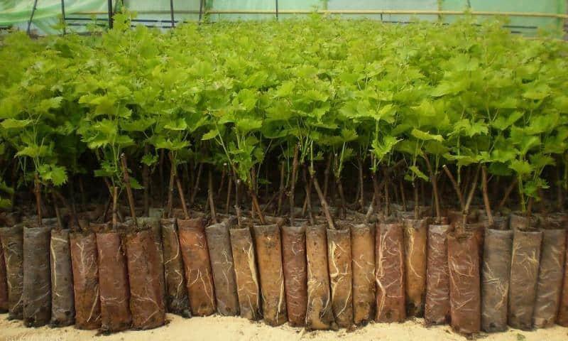 Выращивание винограда по технологии для получения отличного урожая