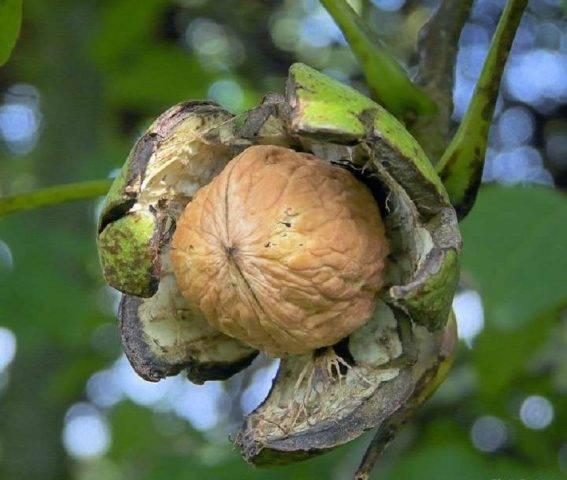 Грецкий орех: описание, посадка и выращивания