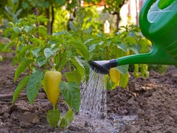 Как подкормить перец йодом и можно ли использовать как удобрение?