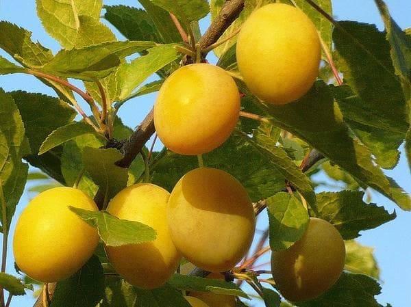 Сорт сливы медовая жёлтая — вкусный, урожайный, неприхотливый