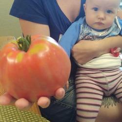 Уникальный холодостойкий сорт томат-великан «тяжеловес сибири», его описание и характеристики