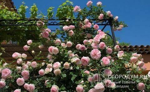 Садовая красавица на все времена – роза пьер де ронсар! как размножить цветок и заботиться о нем?