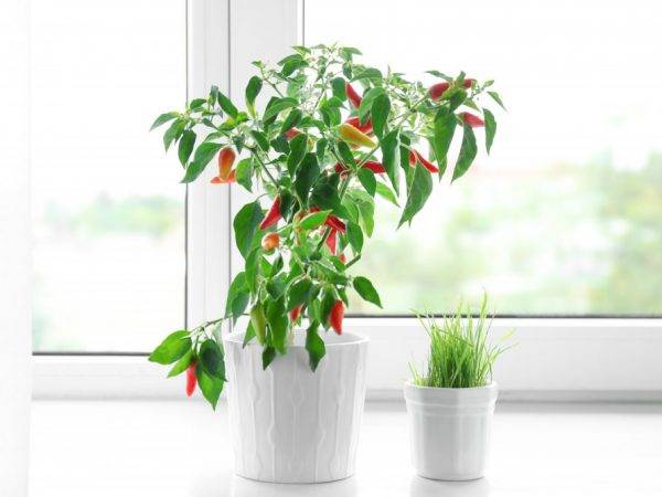 Перец хабанеро – описание, выращивание, сорта + фото