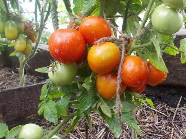 Описание сортов томатов для открытого грунта