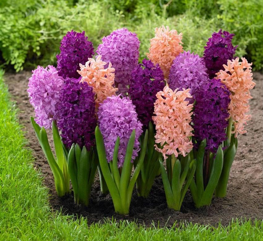 Гиацинт в горшке – уход за цветком