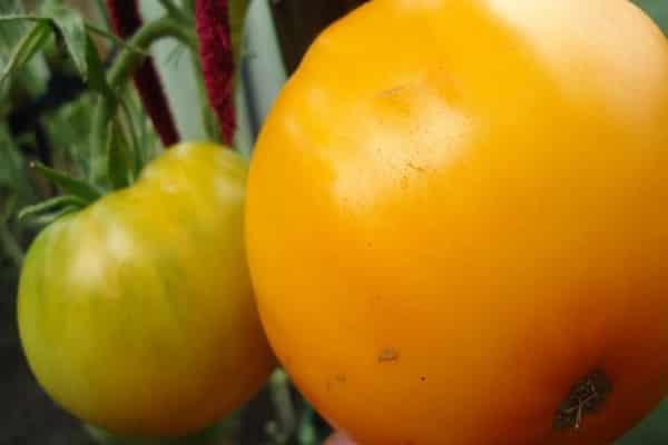 Описание сорта томата Жар-птица, особенности выращивания и урожайность