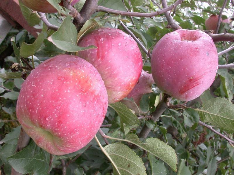 Яблоня баргузин: особенности сорта и ухода