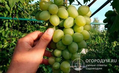Описание сорта винограда «чарли» — мощные грозди и высокая морозоустойчивость