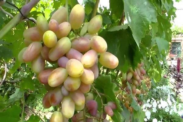 Описание и характеристики, плюсы и минусы винограда сорта изюминка и правила выращивания