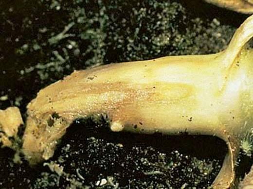 Болезни и вредители тыквы в открытом грунте, как бороться