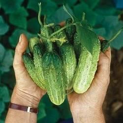 Огурец султан — характеристика и правила выращивания