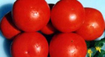Мой личный топ-50 сортов помидоров