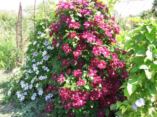 Описание и тонкости выращивания клематисов сорта пинк фэнтези