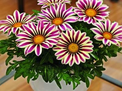 Выращивание гацании в домашних условиях в горшке как комнатное растение
