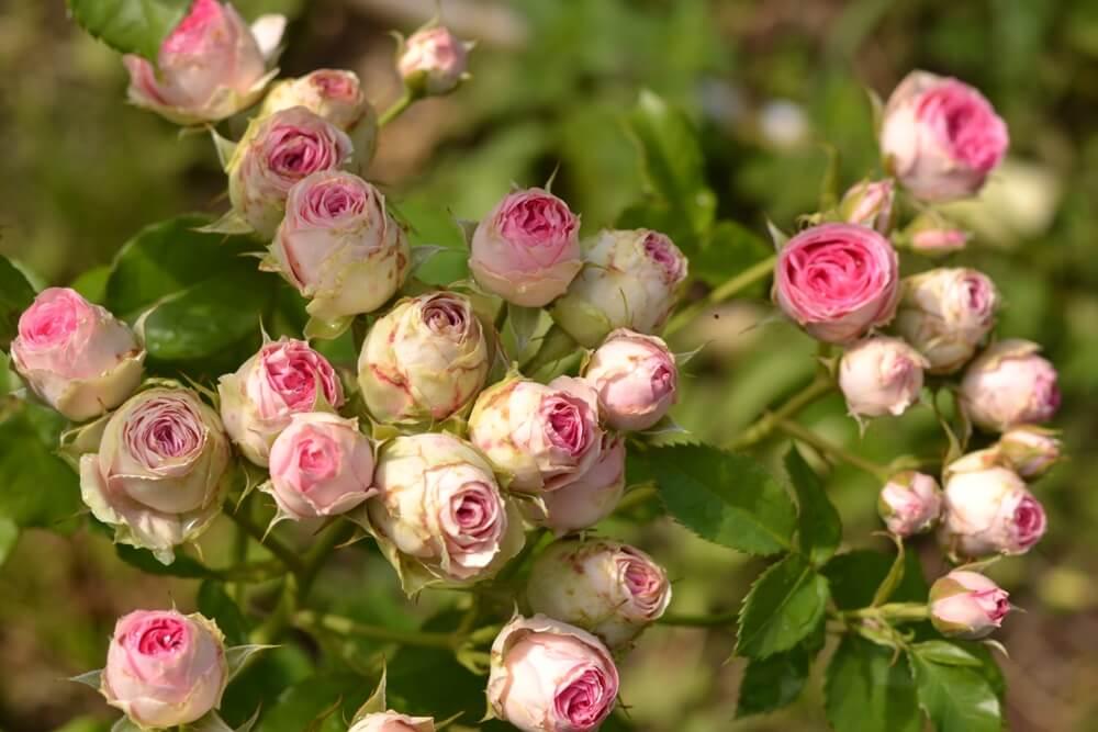Самые красивые спрей-розы. фото и описания сортов