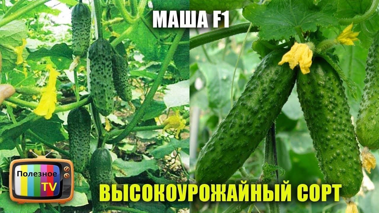 Сорт огурцов маша f1: описание и характеристика, отзывы