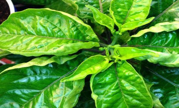 Основные причины и способы устранения скручивания листьев рассады перцев