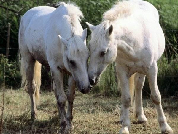 Что такое случная болезнь лошадей, как проявляется и как лечится
