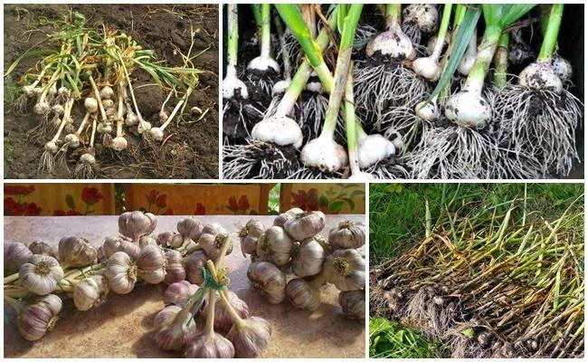 Уборка урожая озимого и ярового чеснока: сроки, правила, подготовка к хранению