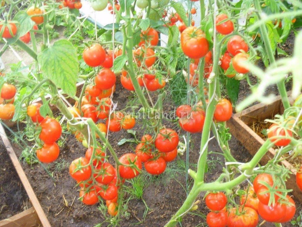 Описание сорта томата Ксения f1, его характеристика и выращивание