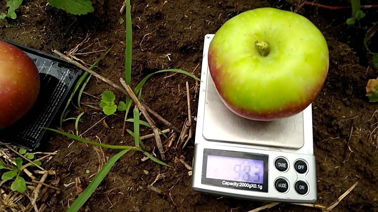 Сорт яблони россошанское полосатое: описание сорта, особенности выращивания