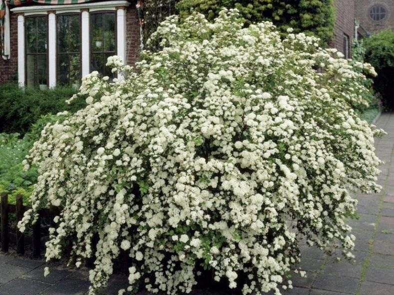 Спирея ниппонская сноумаунд — восточній цветок для украшения участков