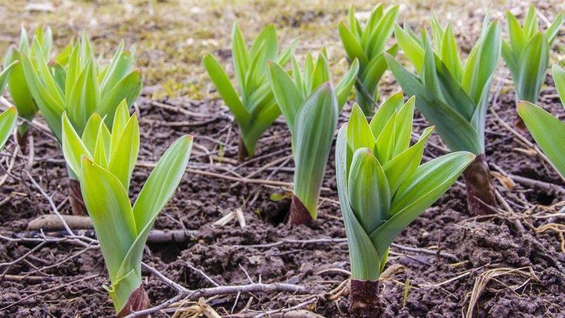 Описание, применение, полезные свойства суворовского лука-чеснока