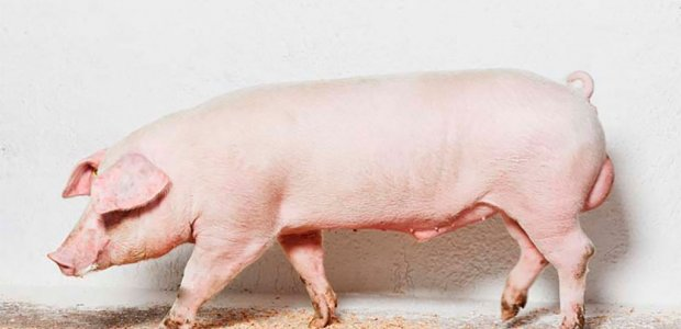 Дюрок: описание породы свиней, особенности кормления и разведения