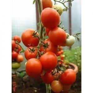 Томат маршал победа: характеристика и описание сорта, отзывы об урожайности помидоров, фото семян