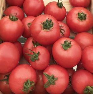 Сорт томата «торбей f1»: описание, характеристика, посев на рассаду, подкормка, урожайность, фото, видео и самые распространенные болезни томатов