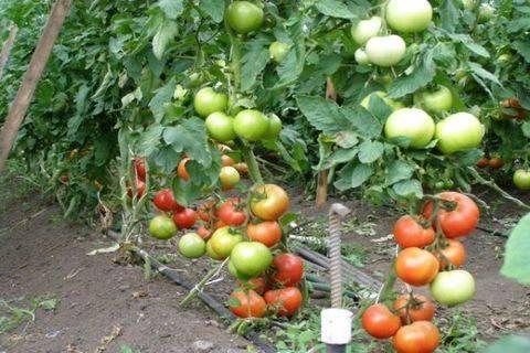 Томат пинк солюшн — описание и характеристика сорта