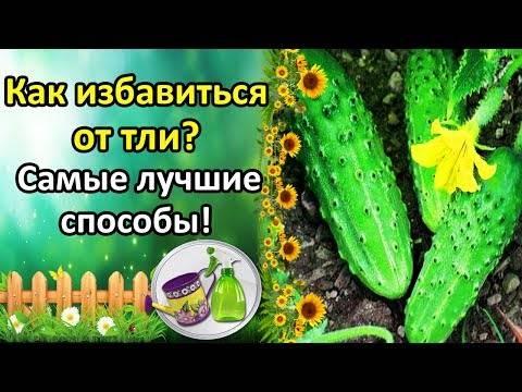 Как избавиться от тли в саду, огороде и на комнатных цветах