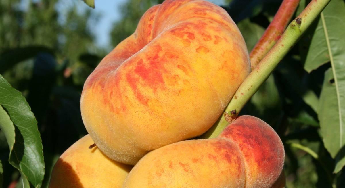 Что за фрукт – инжирный персик?