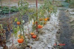 Какие сидераты лучше сеять весной под томаты