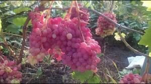 Описание и характеристики сорта винограда рубиновый юбилей, выращивание и уход