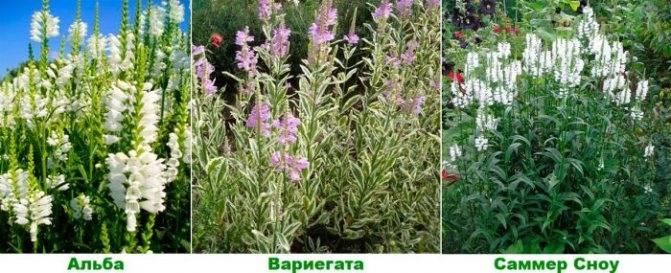 Физостегия виргинская посадка и уход в открытом грунте выращивание из семян фото сортов