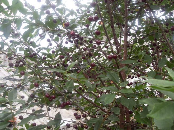 Вишня морозовка – зимостойкая и вкусная жительница садов